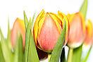 Tulpe_rotgelb
