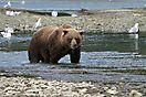 Grizzly - Katmai NP