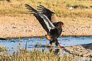 Bateleur - Kgalagadi Botswana