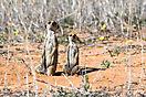 Erdmännchen - Kgalagadi Botswana