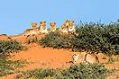 Löwen Gruppenbild - Kgalagadi Botswana
