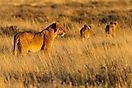 Namibia - Etosha Löwen