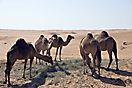 Kamelfütterung in Wahiba Sands