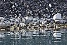 Eisbär am Magdalenen-Fjord