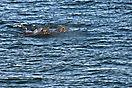 Walrößer in Palanderbukta