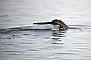 Walfisch in Palanderbukta