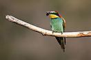 Bienenfresser (Merops apiaster)  am Kaiserstuhl -2-